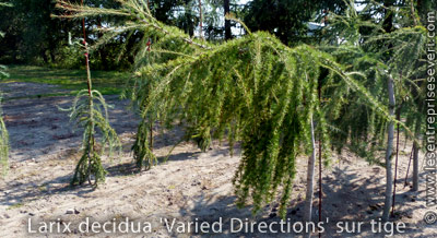 Larix decidua 'Varied Directions' sur tige