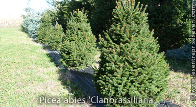 Picea abies 'Clanbrassiliana'