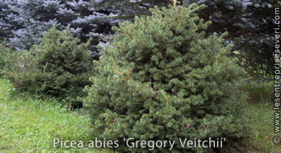 Picea abies 'Gregory Veitchii'
