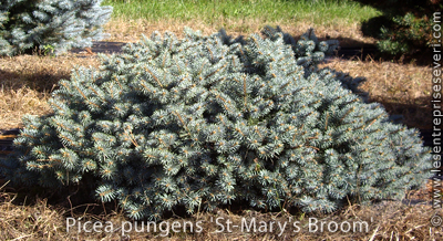 Picea pungens 'St-Mary's Broom'