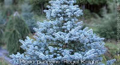 Picea pungens 'Royal Knight'