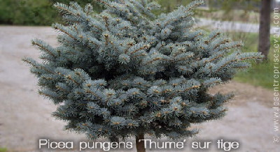 Picea pungens 'Thume' sur tige