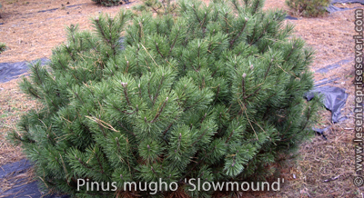 Pinus mugho 'Slowmound'